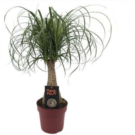 Nolina maya house plant palm in 19cm pot.  Ponytail palm. 60-65cm tall