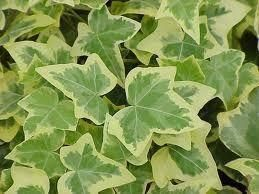 Golden Ivy Plants (Hedera Helix) in a 8.5cm Pot. English Ivy
