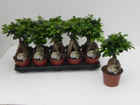 Ficus microcarpa ginseng bonsai house plant in 12cm pot