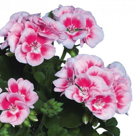 Pelargonium Geranium Flower Fairy White Splash Plant in a 13cm Pot
