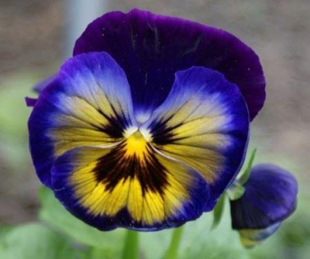 Pansy Midnight Glow bedding plant 6 Pack Garden Ready Plants.