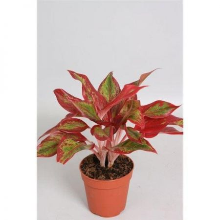 Aglaonema Crete Flame house plant in 12cm pot.  Chinese Evergreen