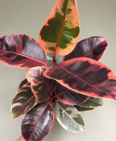 Rubber Plant Ficus elastica Belize House Plant in a 17cm Pot  Rarely offered