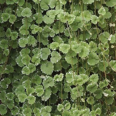 Glechoma (Nepeta) plant in a 10cm pot x 3. Hanging basket plant Aromatic