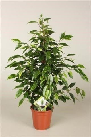 Ficus benjamina Anastasia house plant 55cm tall. Weeping Fig Tree