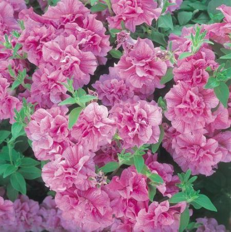 Trailing Petunia Tumbelina CANDYFLOSS Plants in 10cm pot x 3. Double Flowers