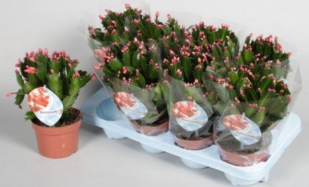 Schlumbergera Christmas cactus house plant with ORANGE blooms in winter. In 13cm pot
