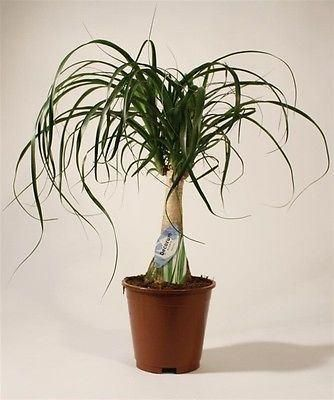 Nolina maya house plant in 17cm pot.  Ponytail palm around 50cm tall