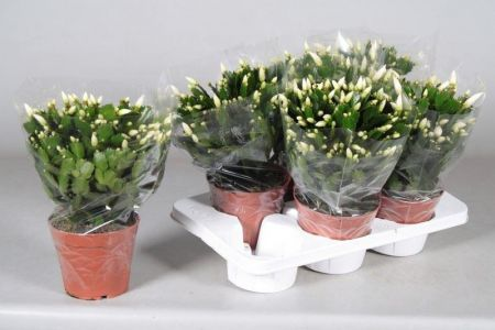 WHITE flowering Christmas cactus in large size. House plant in 17cm pot Schlumbergera