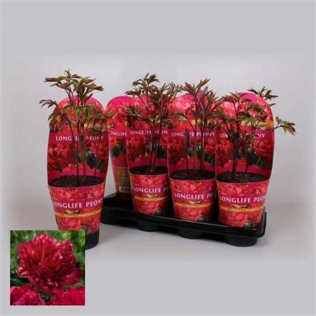Paeonia Lactiflora Longlife RED in a 11cm Pot.