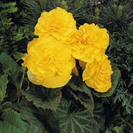 Begonia NonStop® YELLOW Bedding Plant 6 Pack Garden Ready Plants