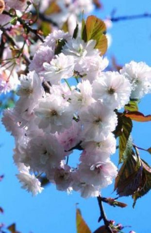 Prunus Spring Snow japanese flowering cherry tree in a 12L container