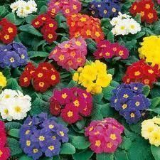 Polyanthus Bedding Plants - Mixed Colours 6 Pack Garden Ready Plants