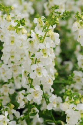 Angelonia WHITE Plant in a 13cm pot. Summer snapdragon