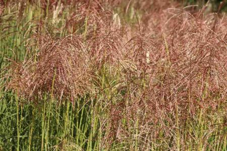 Miscanthus sinensis Pink Cloud Hardy ornamental grass in a 17cm pot