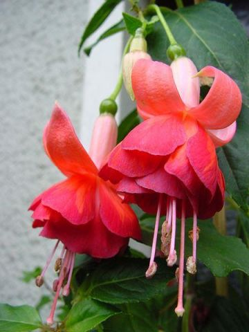 Trailing Fuchsia Dancing Flame Plant in a 9/10cm pot x 3.  For Patio pots and the border
