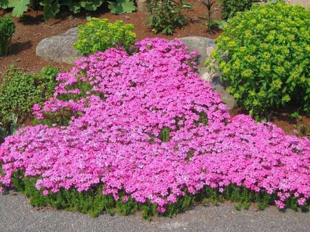 Phlox sub. Drummonds Pink plant in 13cm pot. Great groundcover alpine