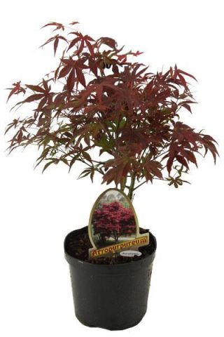Acer palmatum Atropurpureum Tree in a 20cm Pot Japanese Maple