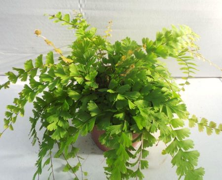 Adiantum caudatum fern house plant in 12cm pot. Maidenhair Fern