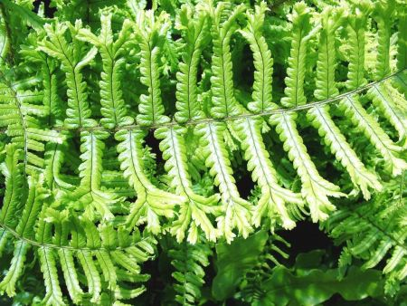 Dryopteris affinis Cristata The King Fern Plant in a 10cm Pot. RHS AGM