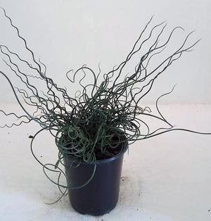 Juncus Twister Grass plant in 10cm pot.