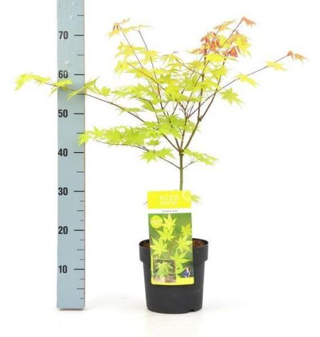 Acer Palmatum Summer Gold  Tree in a 19cm Pot. Japanese Maple.