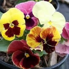 Pansy Apple Cider Mix bedding plants 6 pack Garden Ready Plants.