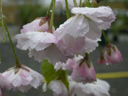 Prunus Blushing Bride or Shogetsu Japanese flowering cherry tree in a 12 Litre container