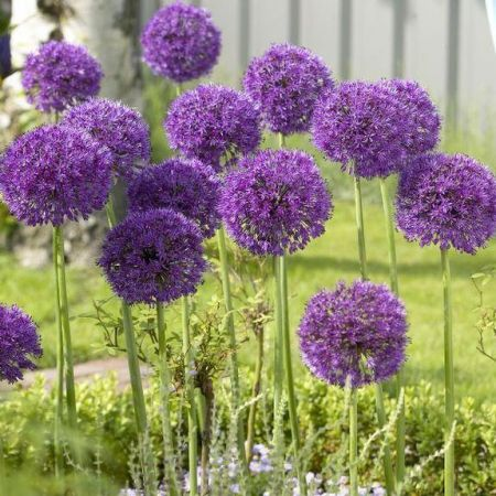 Allium Purple Sensation Plant in a 9cm Pot x 3