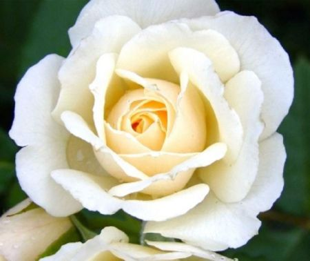 Special Occasion Rose The Birthday Rose in a 5.5 litre Pot