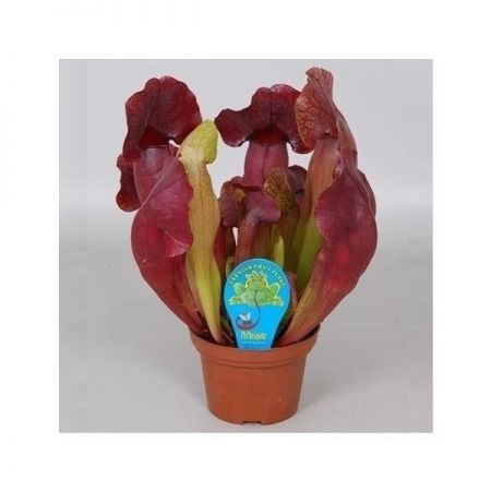 Sarracenia Catesbaie Carnivorous Plant in a 12cm Pot. Pitcher Plant