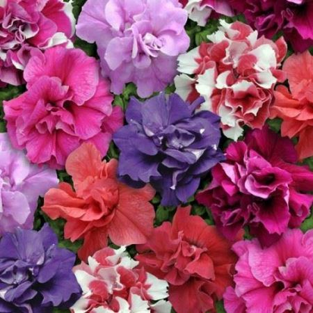 Petunia Double Flowered Mixed Bedding Plant 6 Pack Garden Ready Plants