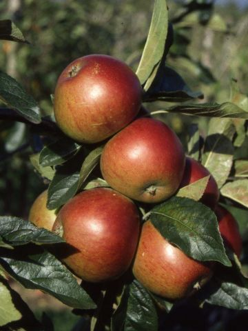 Apple (Malus) Fiesta tree in a 12 Litre Pot - Bush form -  Rootstock MM106