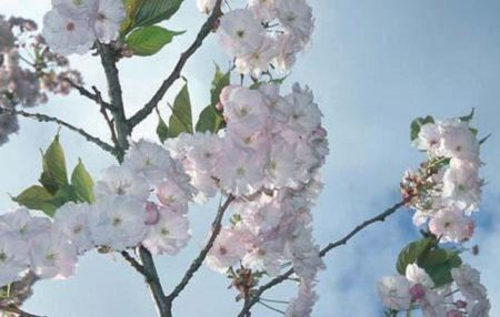 Prunus Ichiyo PINK CHAMPAGNE japanese flowering cherry tree in a 12L container