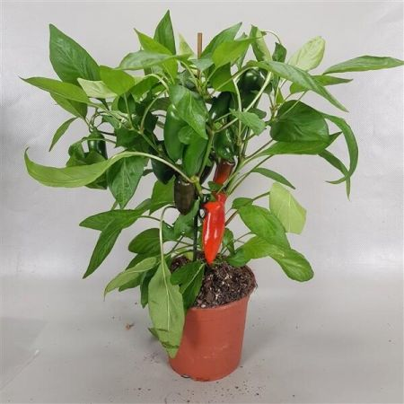 Paprika RED Pepper Plant in a 14cm pot with fruits on