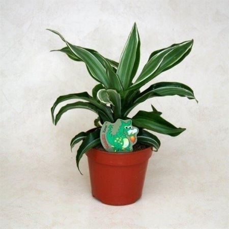 Dracaena fragrans Kanzi. Dragon tree house plant with striped foliage. In 12cm pot