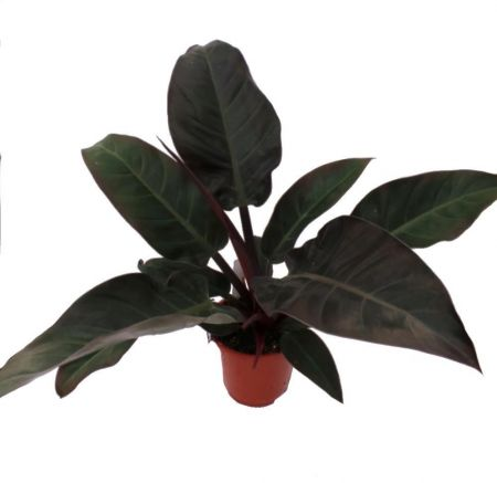 Philodendron Imperial Red houseplant in a 14cm pot