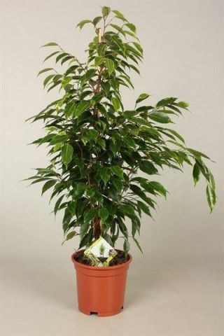 Ficus benj. Anastasia plant.  Weeping Fig Tree. Approx 70-80cm tall