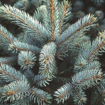 Picea pungens Erich Frahm Spruce Tree in a 12 Litre Pot