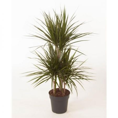 Dragon tree Dracaena marginata house plant. Growing in 21cm pot Multi Stemmed