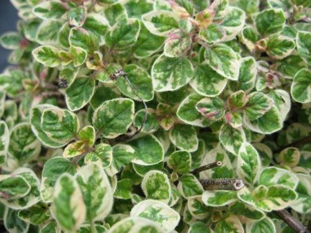 Oregano vulgare Country Cream herb in 11cm pot.