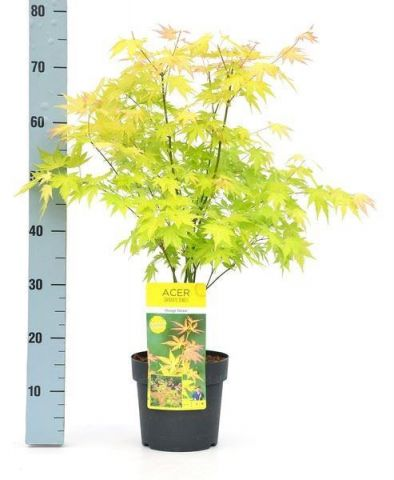 Acer palmatum 'Orange Dream' tree in 19cm pot. Japanese Maple.