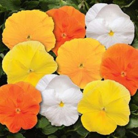 Pansy Citrus Mix bedding plant 6 Packs Garden Ready Plants