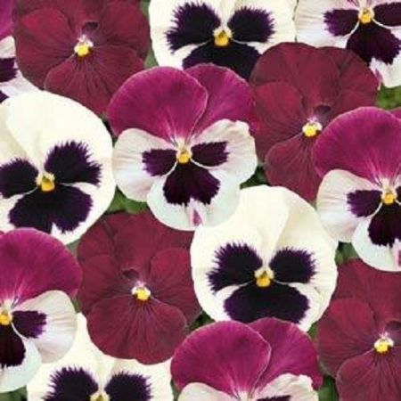 Pansy Raspberry Sundae bedding plants 6 Pack Garden Ready Plants.