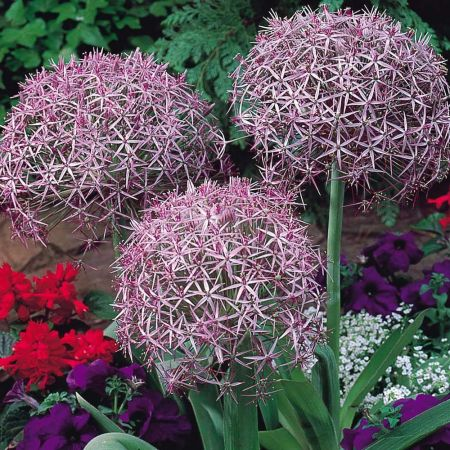 Allium Christophii Plant in a 9cm Pot x 3