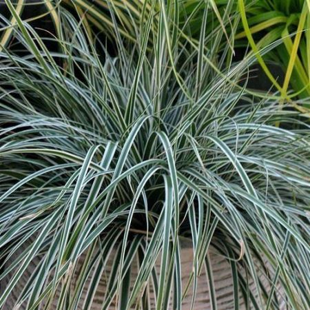 Carex oshimensis Everest ornamental grass in 13cm pot