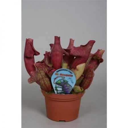 Sarracenia Ewelina Carnivorous Plant in a 12cm Pot. Pitcher Plant