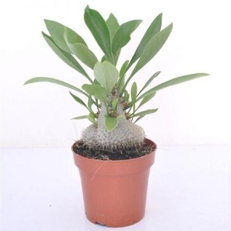 Myrmecodia beccarii house plant in 12cm pot.  Rarely offered ant plant