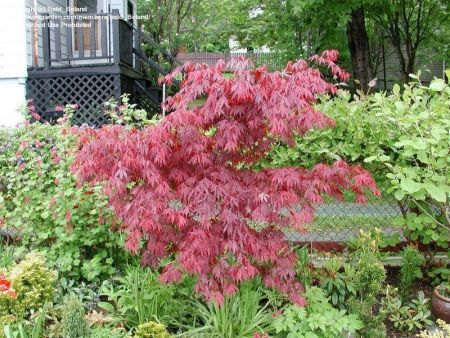 Acer palmatum Suminagashi maple tree in a 8.5 litre patio pot