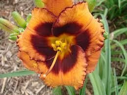 Hemerocallis Madeline Nettles Eyes reblooming day lily in a 17cm pot